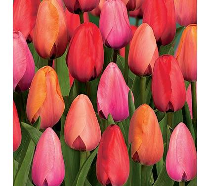 flower-bulbs-tulips